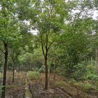 浙江湖州供应5-10公分丛生榉树