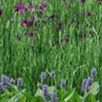 供应苦草、聚草、伊乐藻、狐尾藻等水生植物、沉水植物