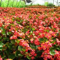 应四季海棠 红叶四季海棠 图片