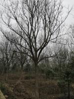 15—25公分重阳木