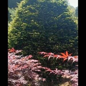供:南方红豆杉,