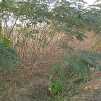 供应合欢小苗高度100-250公分、栾树小苗、法桐小苗、银杏小苗