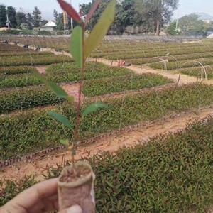 桉树苗价格 福建桉树苗基地供应 植被苗 桉树