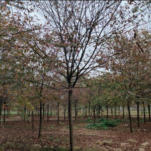 红榉树5-23公分