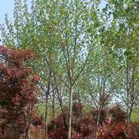 沭阳地区常年供应5-20公分马褂木,马褂木价格便宜规格*