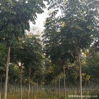 黄山栾树·黄山栾树图片·黄山栾树种植基地