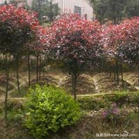 红叶石楠球冠幅40公分~2米大量供应