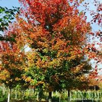美国红枫·美国红枫图片·美国红枫种植基地