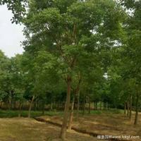 乌桕·乌桕图片·乌桕种植基地