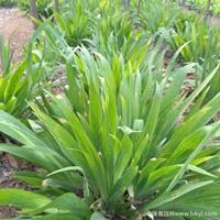 常绿鸢尾·常绿鸢尾图片·常绿鸢尾种植基地