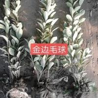 供:南天竹、红天竹、金边黄杨、十大功劳、毛娟等