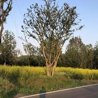 优质特价丛生朴树 安徽丛生朴树价格 滁州丛生朴树产地直销