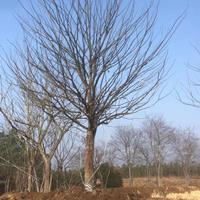 大小规格单杆朴树 安徽单干朴树  朴树价格基地
