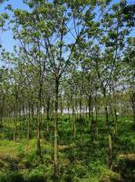 安徽供应重阳木8—12公分、重阳木价格