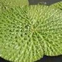 低价出售 海藻 苦草 狐尾藻 鸭子草 水葫芦 芡实等水生植物
