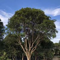 台湾嘉宝果树葡萄