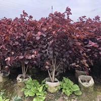 红叶乌桕、高度80-1.5米价格55