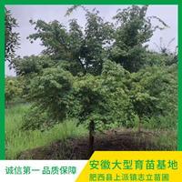 鸡爪槭专业种植基地出售 优质鸡爪槭价格 鸡爪槭批发 鸡爪槭