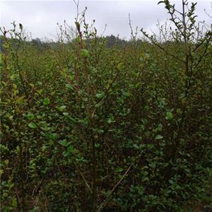 高60公分江南桤木  地径0.6公分桤木小苗  真实货源