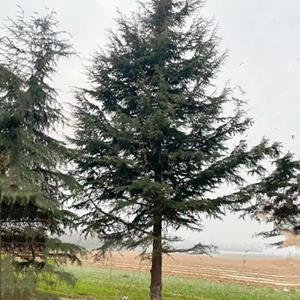 高度12米雪松价格,12米高雪松报价,基地12米雪松多少钱一棵?