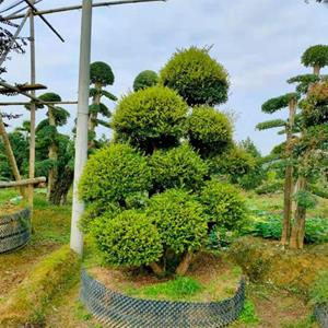 湖南造型赤楠 长沙造型赤楠 各类造型苗木批发/供应
