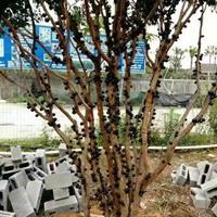 大小规格树葡萄挂果出售基地