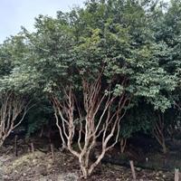 福建供应树葡萄出售规格*