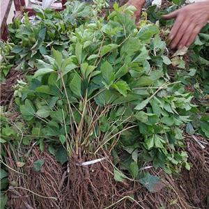爬山虎小苗批发供应 长50-150公分爬山虎价格 爬藤植物 规格*