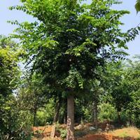 湖南朴树批发批发朴树可以到湖南长沙长沙有各种规格的精品朴树批