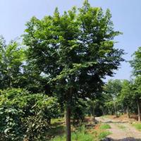 这是今天从基地实拍的朴树图片湖南精品朴树湖南大规格朴树