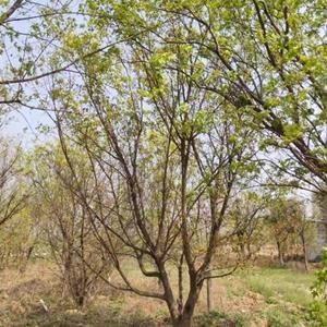 大规格丛生五角枫价格6米丛生五角枫7米丛生五角枫