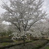 浙江地区供应8-25公分樱花 精品染井吉野樱花供应商规格*