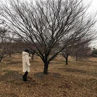 大小规格鸡爪槭基地 20公分鸡爪槭价格