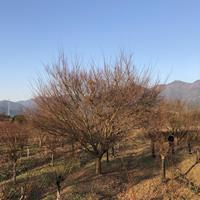 浙江地区供应5-30公分鸡爪槭 精品鸡爪槭供应商