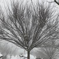 优质特价鸡爪槭产地直销 供应3-25公分鸡爪槭