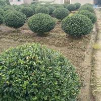 专业茶梅球生产基地 浏阳茶梅球1.5-2米价格便宜