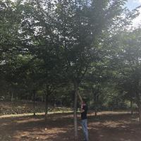 浙江地区供应10-20公分高杆樱花 高分枝点樱花