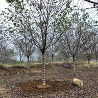 供应10-20公分高杆樱花 精品高杆樱花 20公分高杆樱花基地