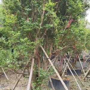 广州广大花木大量供应15-18-20公分直径台湾嘉宝果树葡萄