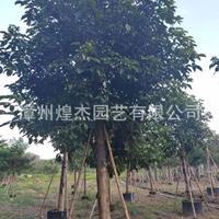 福建[产品]/福建重阳木(秋枫) 米径10-15公分 价格180元-850元价格/报价