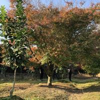 嵊州钱景花木场供应20-25公分鸡爪槭 大规格鸡爪槭供应商