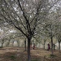 嵊州钱景w88网站手机版供应10-20公分精品高杆樱花