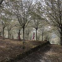 15公分精品高杆樱花 18公分高杆樱花 20公分精品高杆樱花基地