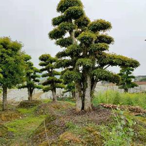 湖南丛生多杆造型榆树什么价格 丛生多杆造型椤木石楠 丛生造型小叶女贞价格 丛生造型赤楠