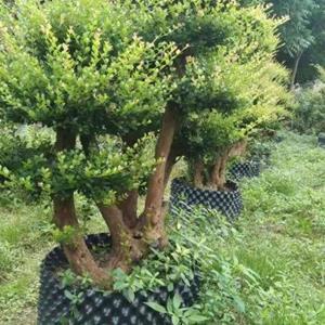 赤楠桩大量批发 江西赤楠盆景价格 基地1米占地赤楠桩价格