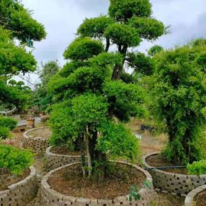 2022年造型榆树基地直销+造型景观树+1米造型罗汉松价格+3米造型赤楠价格