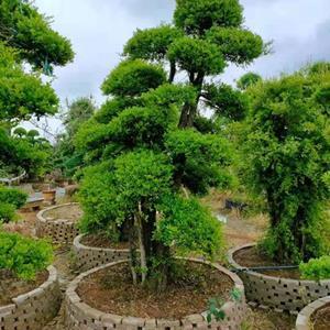 2022年百度热销苗木高档造型赤楠+造型小叶女贞+造型榆树+造型红花继木桩景基地